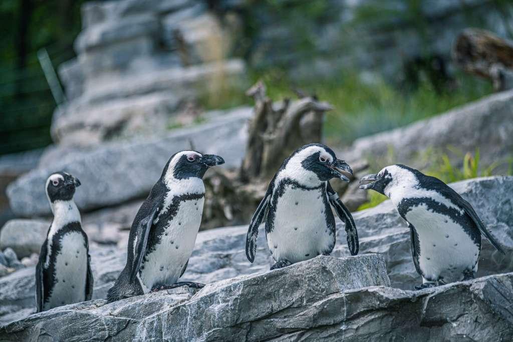 Penguins at the Salzburg Zoo